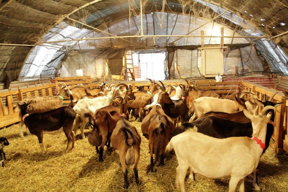 S'installer, s'équiper ou développer un élevage caprin pour moins de 15 000€