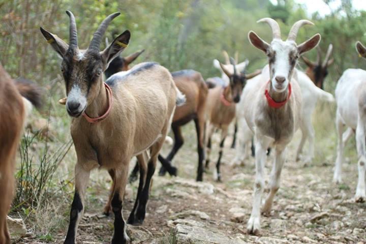 La Garde de chèvres, un savoir faire technique.