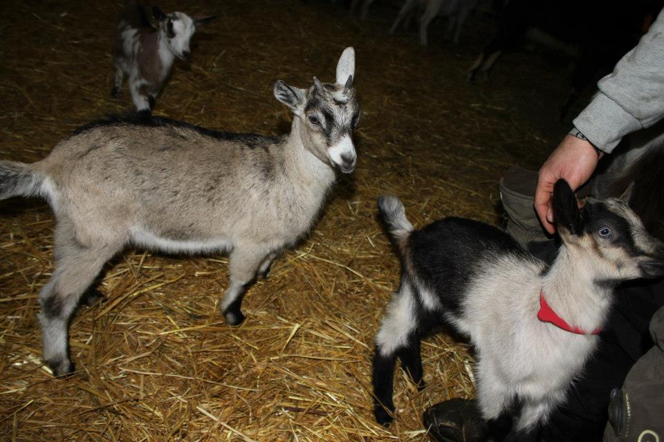 La Chèvre des Savoies (Alpine Française) : Une race oubliée, une superbe chèvre : la Savoie quoi !