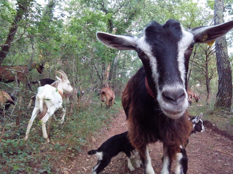 La Chèvre poitevine, une biquette calme adaptée à la prairie.