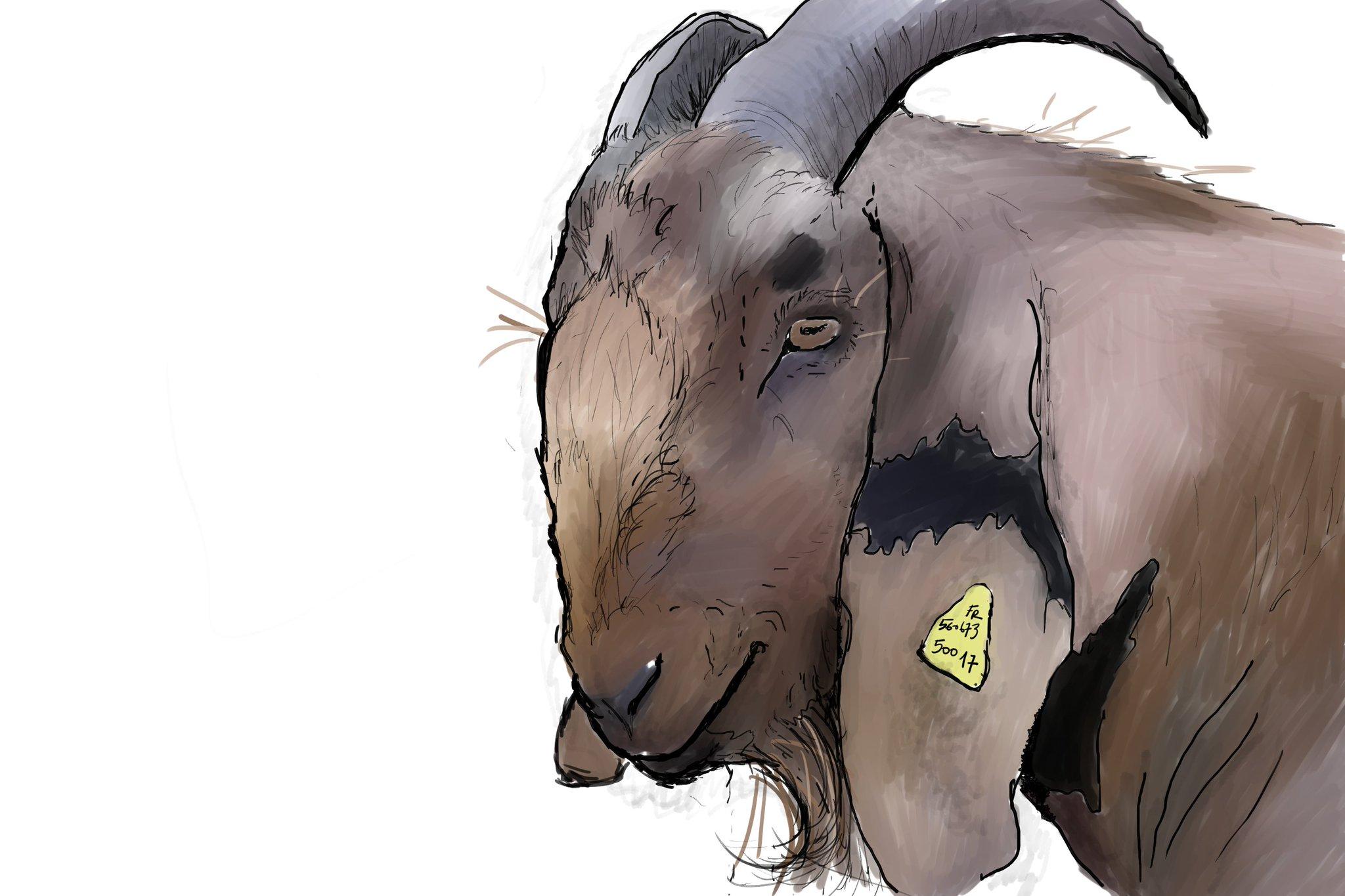 Sauvons la chèvre Anglonubienne Française.