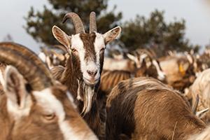 La chèvre du Toggenbourg : la Poitevine suisse, Une chèvre bonne partout mauvais nul part.